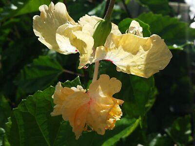 YELLOW Lions Tail Pom Pom Tropical Hibiscus Live Plant Rare Color Unusual Flower