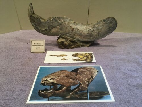 DUNKLEOSTEUS-COMPLETE LOWER JAW-DEVONIAN-ARMORED FISH-MUSEUM GRADE FOSSIL!!!