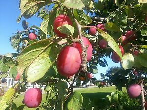 Big Juicy Victoria Plum Tree 5-6 ft In a 7.5L Pot,Ready to Fruit,Self Fertile
