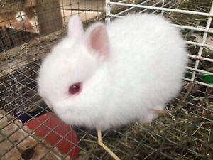 netherland/holland lop bunnies