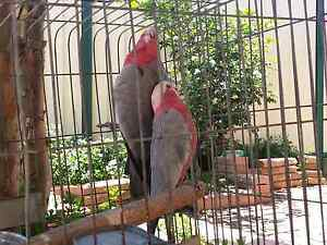 Pair of Breeding Galah Parrots Liverpool Liverpool Area Preview