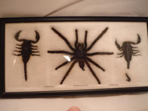 Real Tarantula - Spider - Double Scorpions - REAL CREEPY BUGS 16X8 inch Display