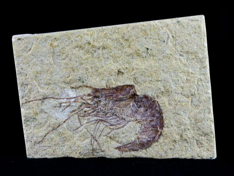 "1.8"" Fossil Shrimp Carpopenaeus Cretaceous Age 100 Mil Yrs Old Lebanon COA"