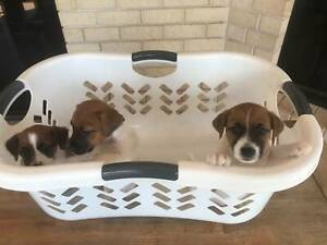 Purebred Tri-colour Jack Russell Puppies for sale