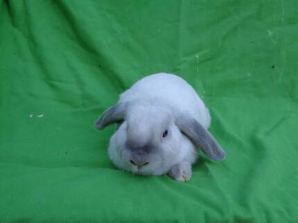 Lavender- Baby Mini Lop Rabbit