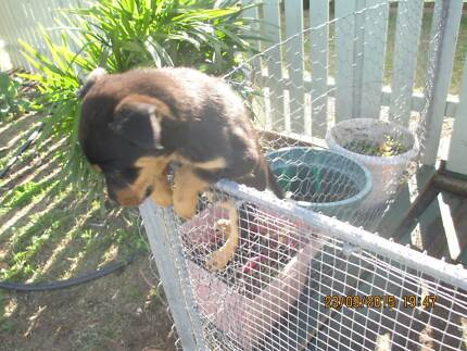 9 KELPIE PEDIGREE  PUPS 4 SALE Burnett Heads Bundaberg City Preview
