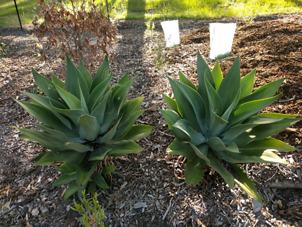 Large Agaves