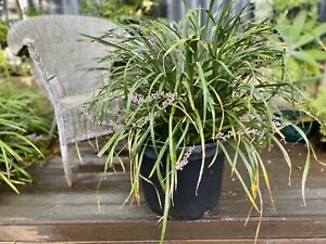Liriope Evergreen Giant (Liriope Muscari)