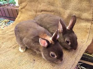 4 young dwarf Netherland rabbits Aberfoyle Park Morphett Vale Area Preview
