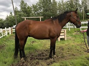 16.3hh 2007 solid APHA gelding for sale/trade