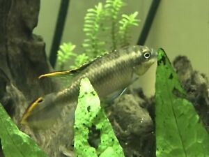 Kribensis cichlids for sale