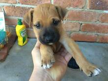 Gorgeous and Loving Female Puppy Dog with its House for Sale Moree Moree Plains Preview