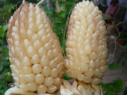 10 corn (ivory - white) seeds/ Popcorn seeds (free postage)