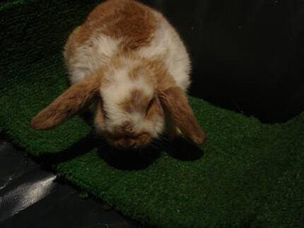 Butterfly Mini Lop Rabbit Needing a Home