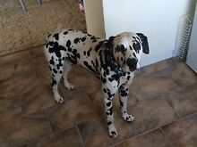 Male dalmatian for sale Maitland Maitland Area Preview