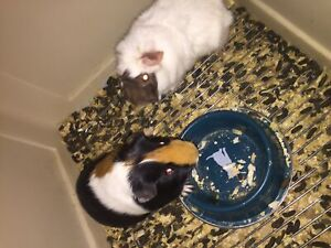 Lovely cute guine pigs for sale I need to give them as fast