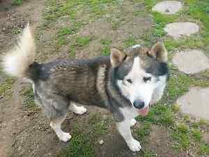 Husky X Malamute for sale Corowa Corowa Area Preview