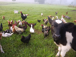 Will take any unwanted poultry + livestock Niagara Park Gosford Area Preview