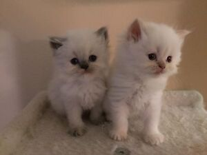 2 GORGEOUS HIMALAYAN KITTENS FOR SALE
