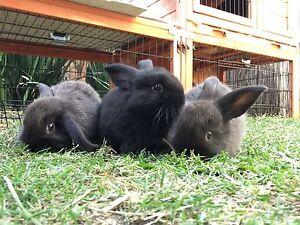 Mini Lop Bunnies Brighton Bayside Area Preview