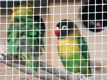 Black Face Masked Lovebirds (green) Glen Iris Boroondara Area Preview