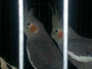 Handreared birds (only available once WEANED) Gosnells Gosnells Area Preview
