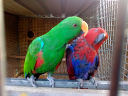 Genuine breeding pair