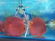 Quality Penang DISCUS 14 to 16cm - ALL  $170 each -X LARGE DISCUS FISH Como South Perth Area Preview