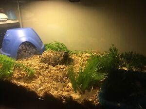 Ball Python (Comes with tank, food, and accessories)