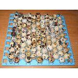 120+ JamesMarie MeatMaker XL. JUMBO brown coturnix quail hatching eggs,