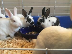 Mini Rex Rabbits!