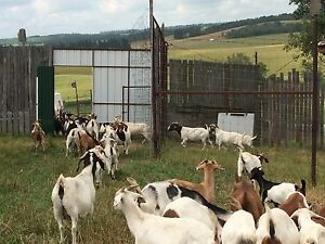 MEAT GOATS FOR SALE MALES/FEMALES