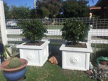 Dwarf fig trees x 2 Golden Beach Caloundra Area Preview