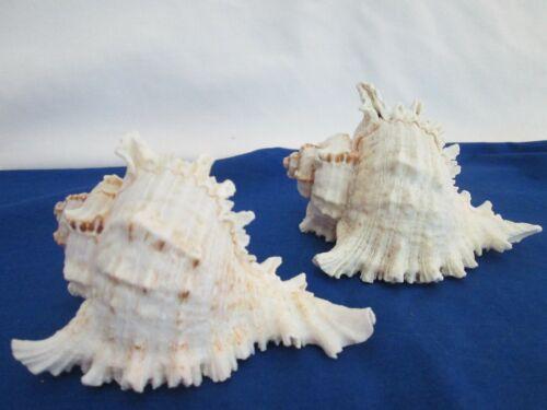 2 Murex Sea Shells-Phillipines