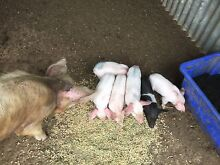 Piglets Tahmoor Wollondilly Area Preview