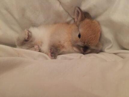 Purebred Netherland Dwarf  Silverdale Wollondilly Area Preview