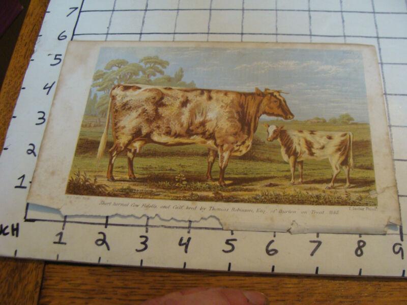Vintage Print: short horned Cow bred by Thomas Robinson esq 1848 w. h davis prin