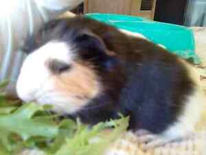 Guinea pig babies. Alexander Heights Wanneroo Area Preview