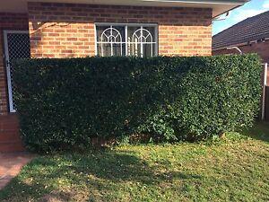 Mature healthy Murraya Paniculata Orange Jasmine hedge plants Matraville Eastern Suburbs Preview