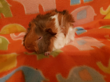 Baby Guinea Pigs Abyssinian