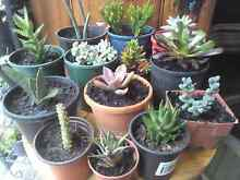 Succulent plants $2 each Bidwill Blacktown Area Preview