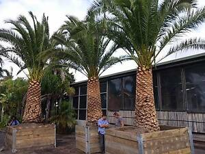 Canary Island Date Palms Advanced - Melbourne Grown Greenvale Hume Area Preview