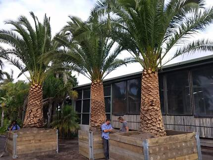 Canary Island Date Palms Advanced - Melbourne Grown