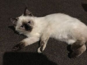16 week old Ragdoll cat for sale Telarah Maitland Area Preview