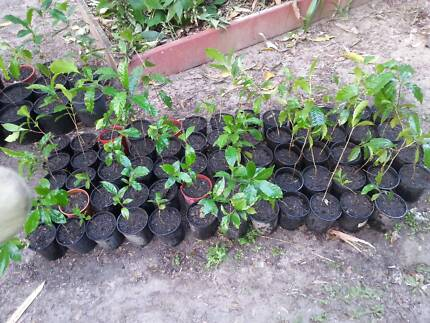 Coffee Plants Helensvale Gold Coast North Preview