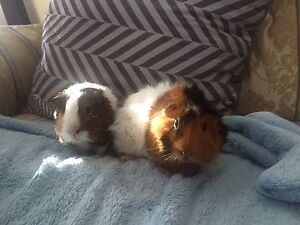 Two beautiful male guinea pigs Killarney Heights Warringah Area Preview