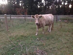 Murray Grey cow PTIC with OPTIONAL steer calf Mount Compass Alexandrina Area Preview