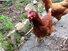 HENS CHICKENS CHOOKS PULLETS ISA BROWN Helena Valley Mundaring Area Preview