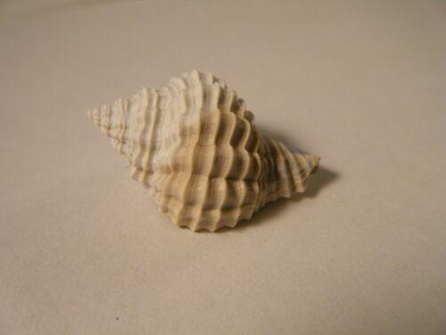 Fossil HANETIA MENGEANA Shell Florida Fossil Whelk Shell