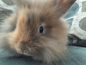 Adorable and fuzzy baby Lionheads! Very friendly and sweet!